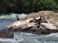 cormorants on river nile Jinja, East Africa, Uganda, Africa