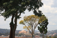 trees outside palace Kampala, East Africa, Uganda, Africa