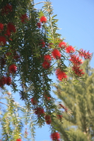 bottle brush tree Rawangi, East Africa, Tanzania, Africa