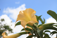 071016103315_yellow_trumpet_flower