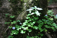 071020132854_three_petals_clover_leaves