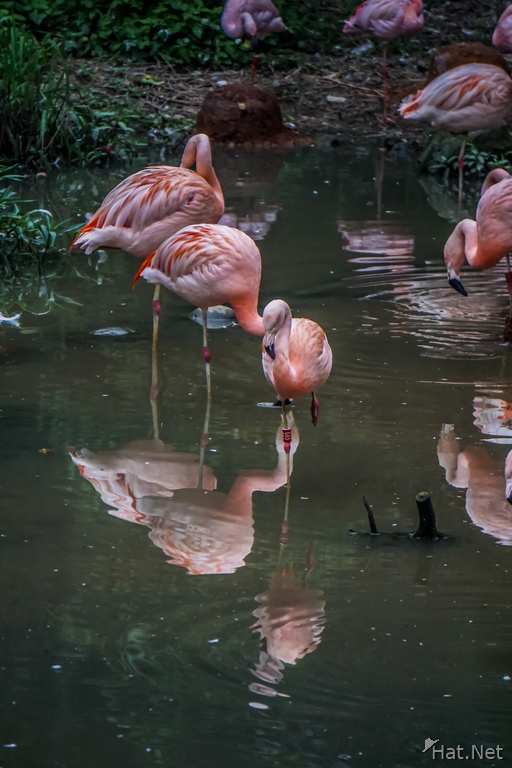 Taipei zoo Flamingoes