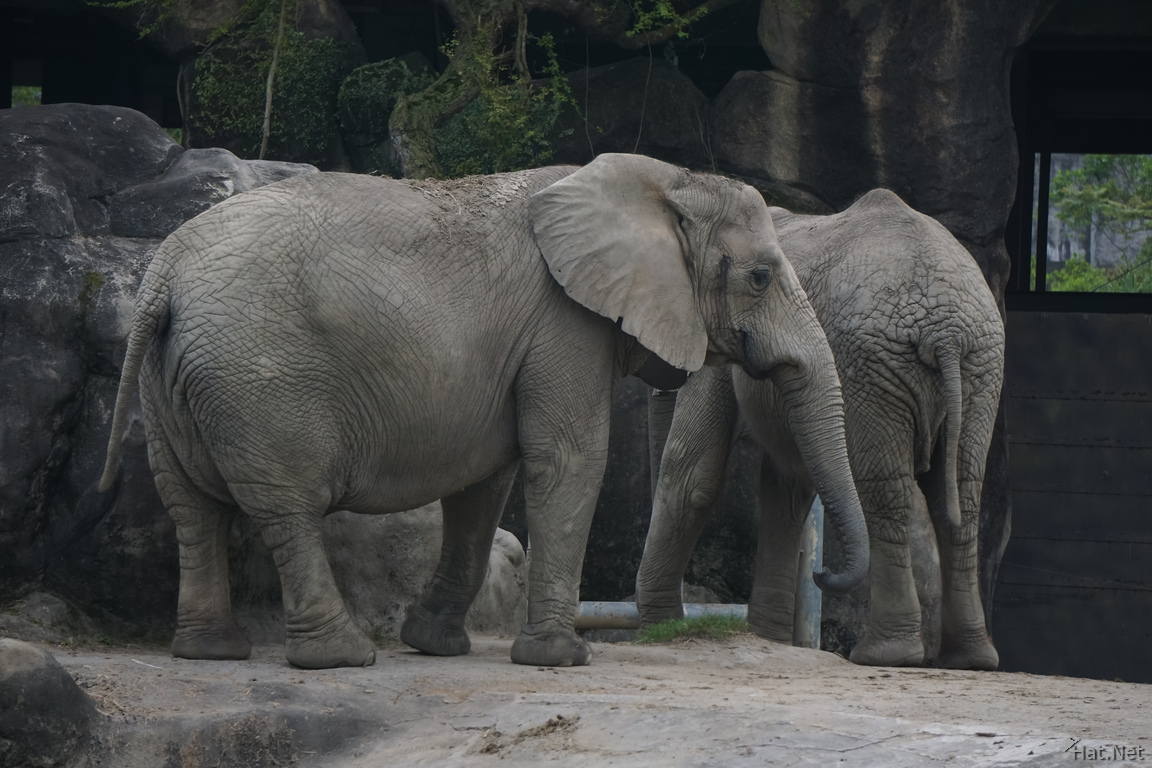 African Elephants in Taipei Zoo