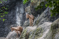 mountain Goats Wenshan District,  Taipei City,  Taiwan, Asia