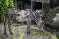 zebra Wenshan District,  Taipei City,  Taiwan, Asia
