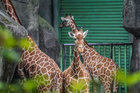 Giraffe in Taipei Zoo Wenshan District,  Taipei City,  Taiwan, Asia