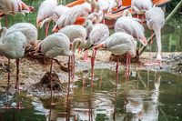Taipei zoo Flamingoes Wenshan District,  Taipei City,  Taiwan, Asia