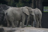 African Elephants in Taipei Zoo Wenshan District,  Taipei City,  Taiwan, Asia