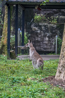 Kangaroo Wenshan District,  Taipei City,  Taiwan, Asia