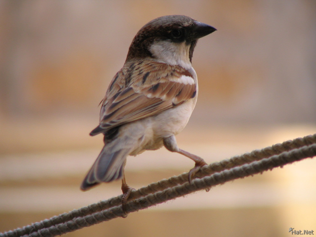 sparrow at jaisalmer