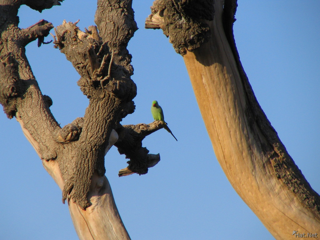 rose ring parakeet at chittorgarh