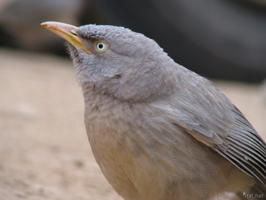 jungle babbler at ranthambhore