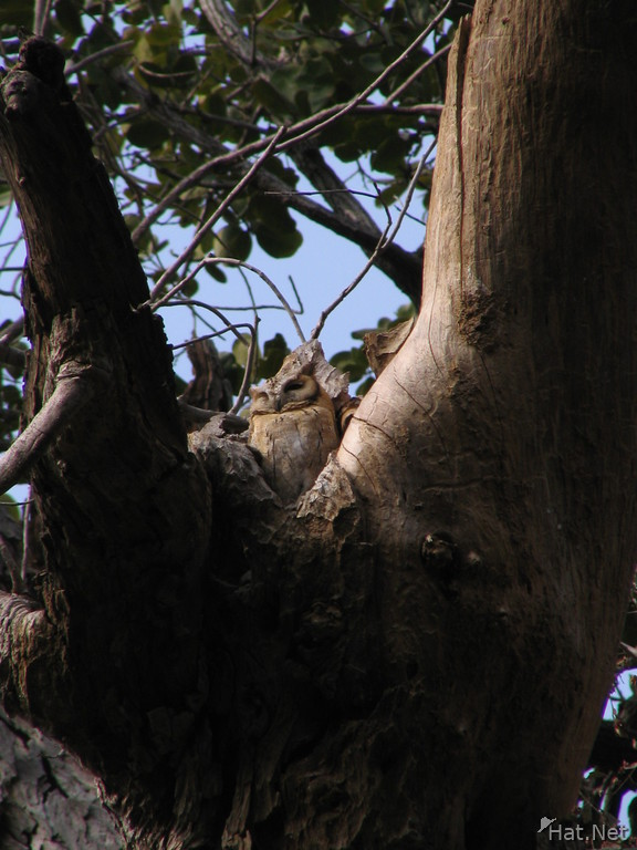 brown owl of ranthambhore