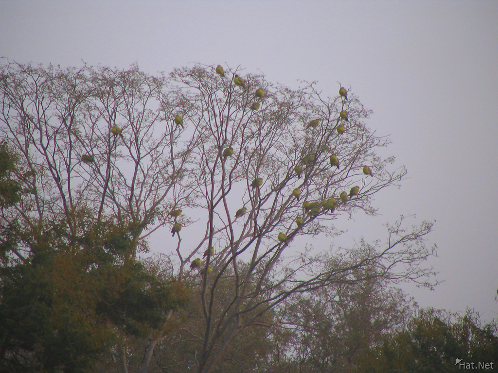 green pigeons at ranthambhore