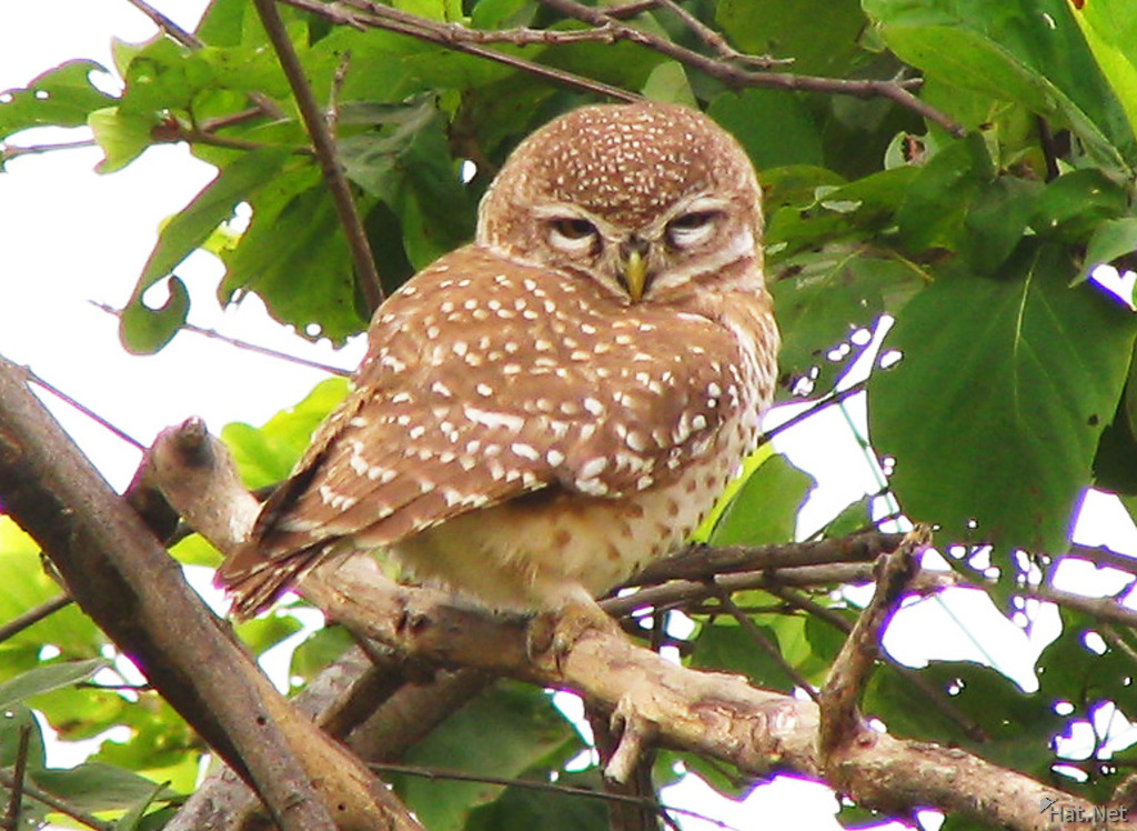 spotted owlet at bharatpur