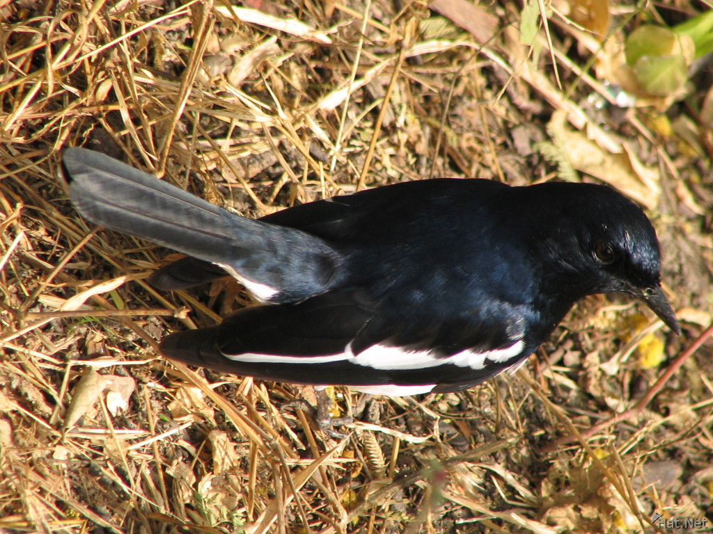 male magpie robin at bharatpur