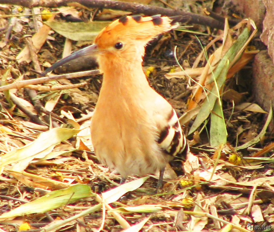 hoopoe outside the toilet of bharatpur