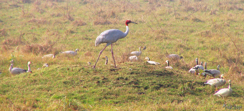 indian sarus crane in bharatpur