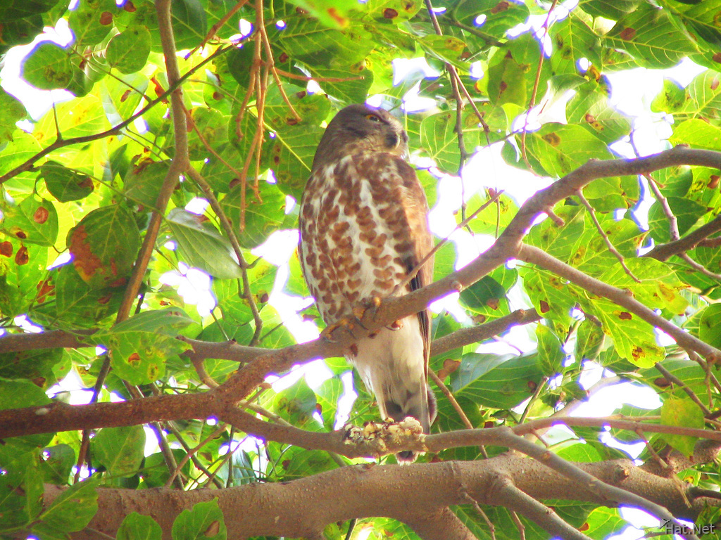 brown hawk owl in a orchard of bharatpur