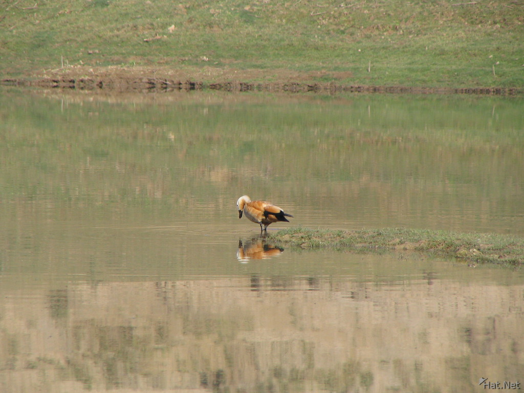 reflection of ruddy shelduck
