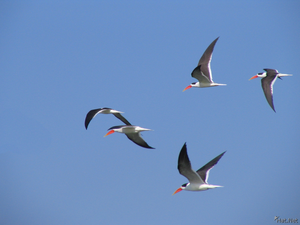 indian skimmers flying