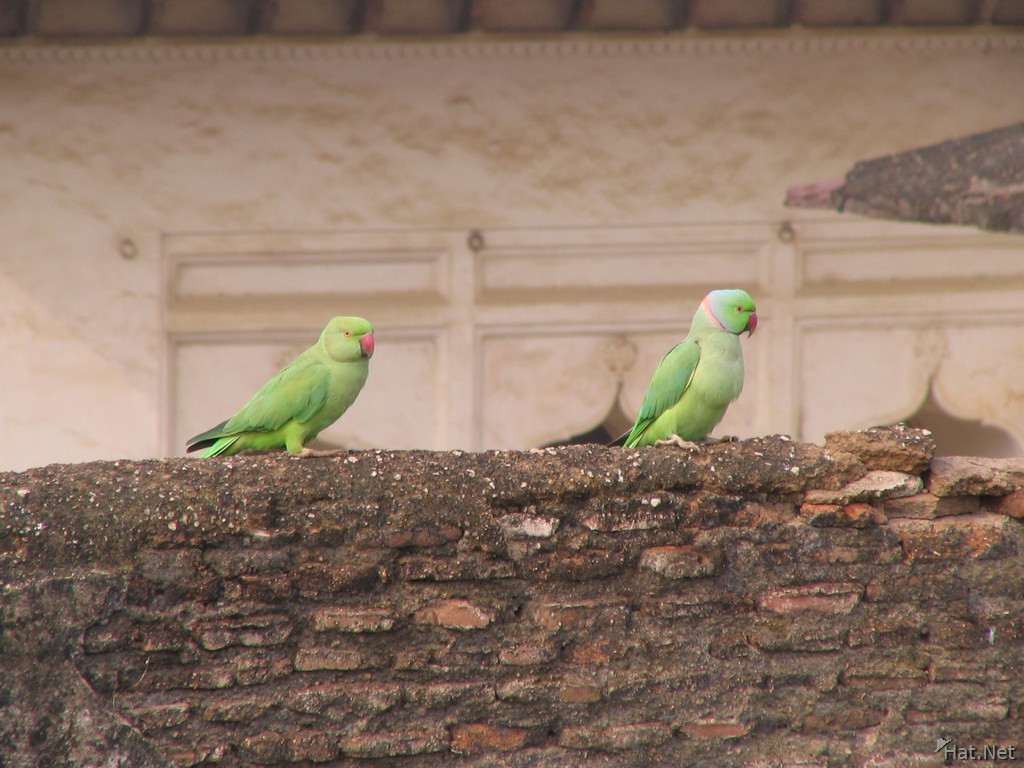 rose ring parakeet at orcha