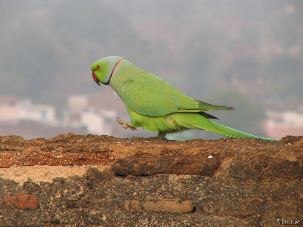 rose ring parakeet trotting on raj mahal