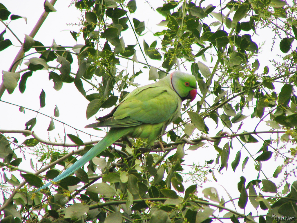 rose wing parakeet