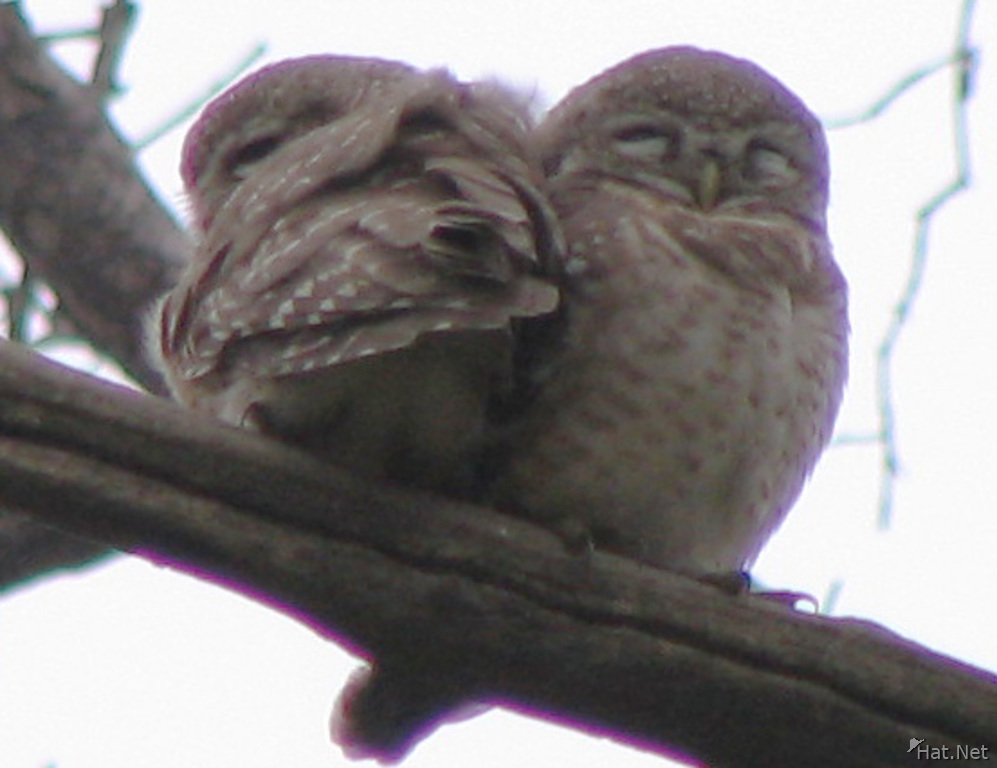 spotted owls couple