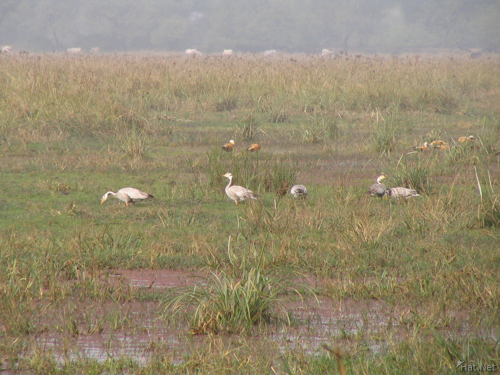 ruddy shelduck and wire headed geese