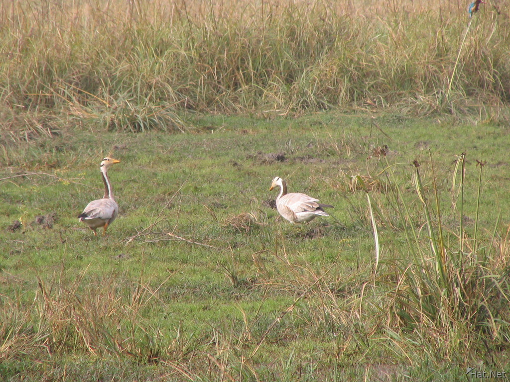wire headed geese