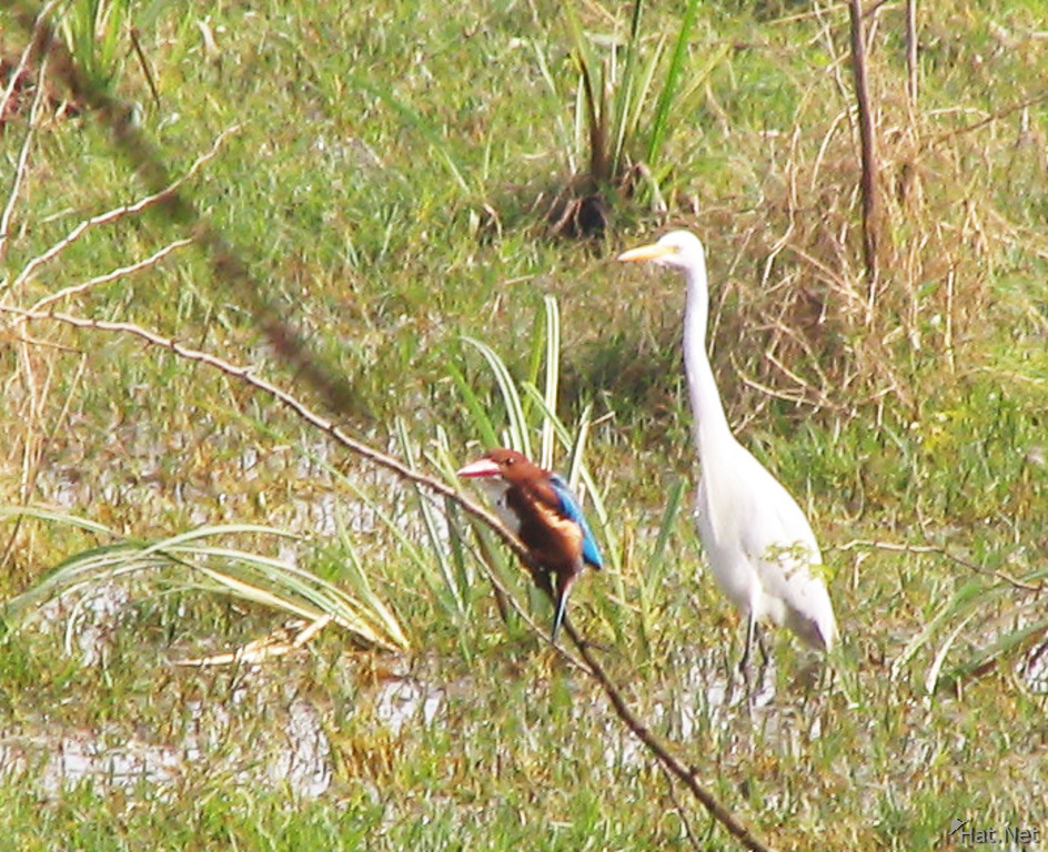 king fisher and great egret