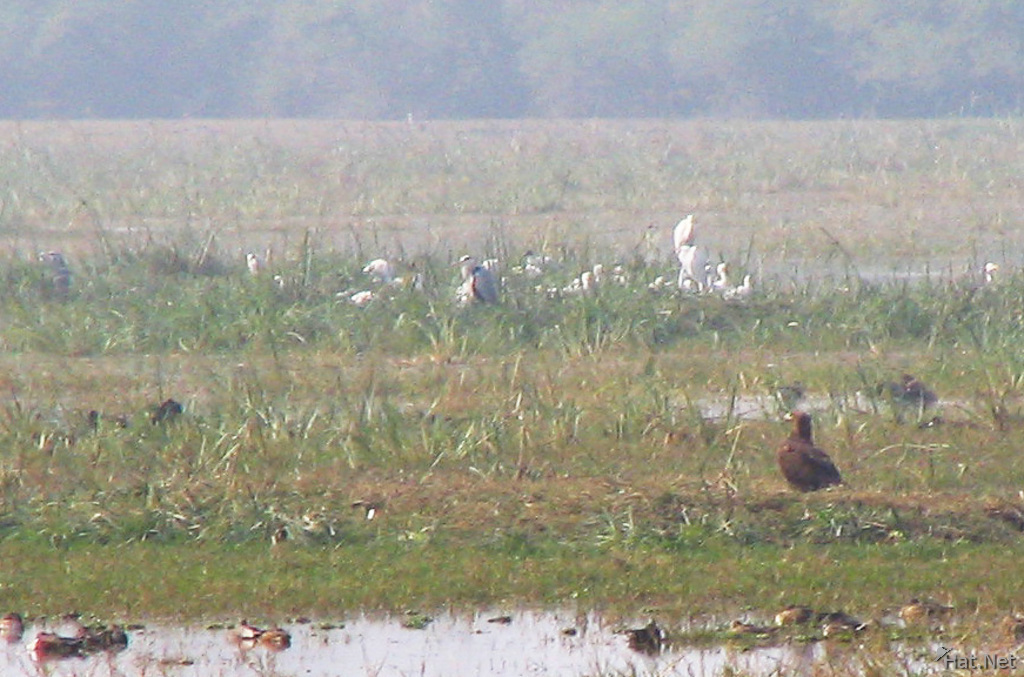 steppe eagle among ducks