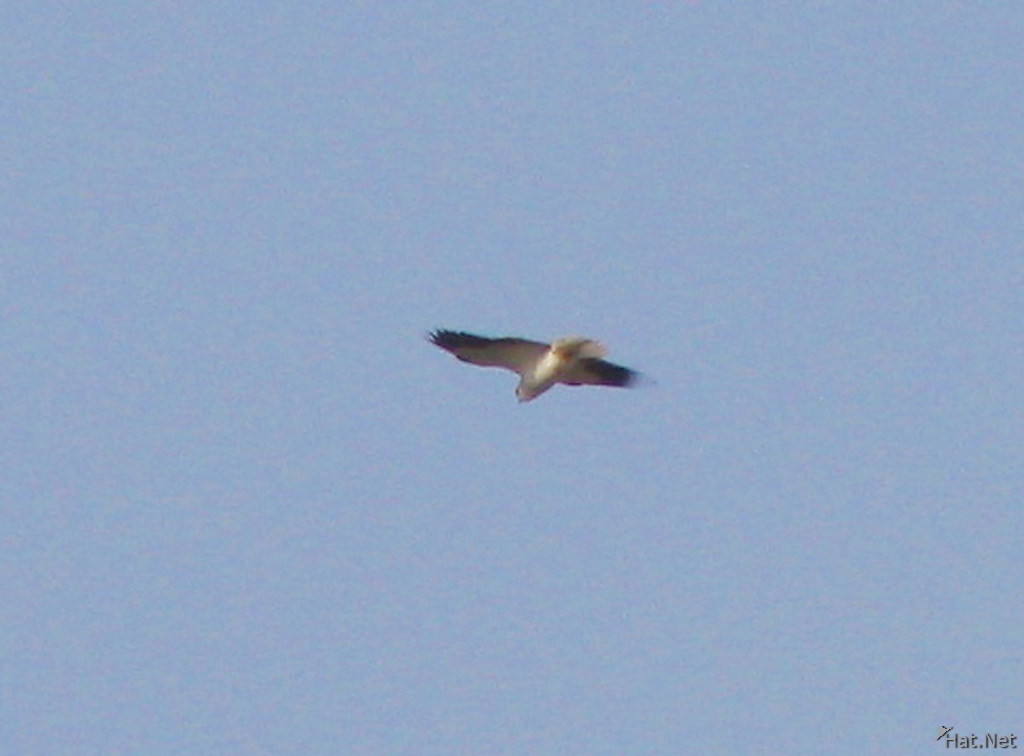 black shoulder kite hovering in sky