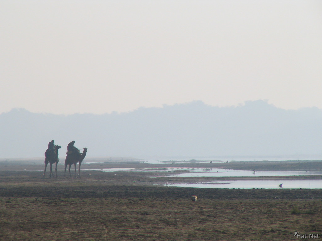 camels by chambal river