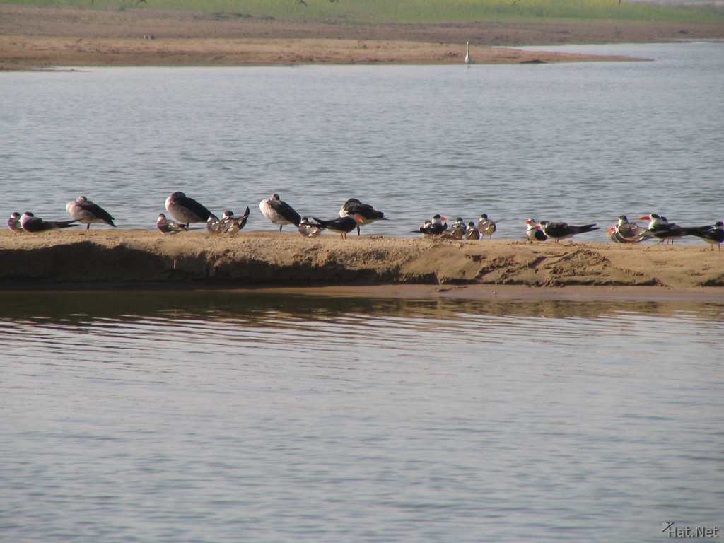 indian skimmers and comb ducks