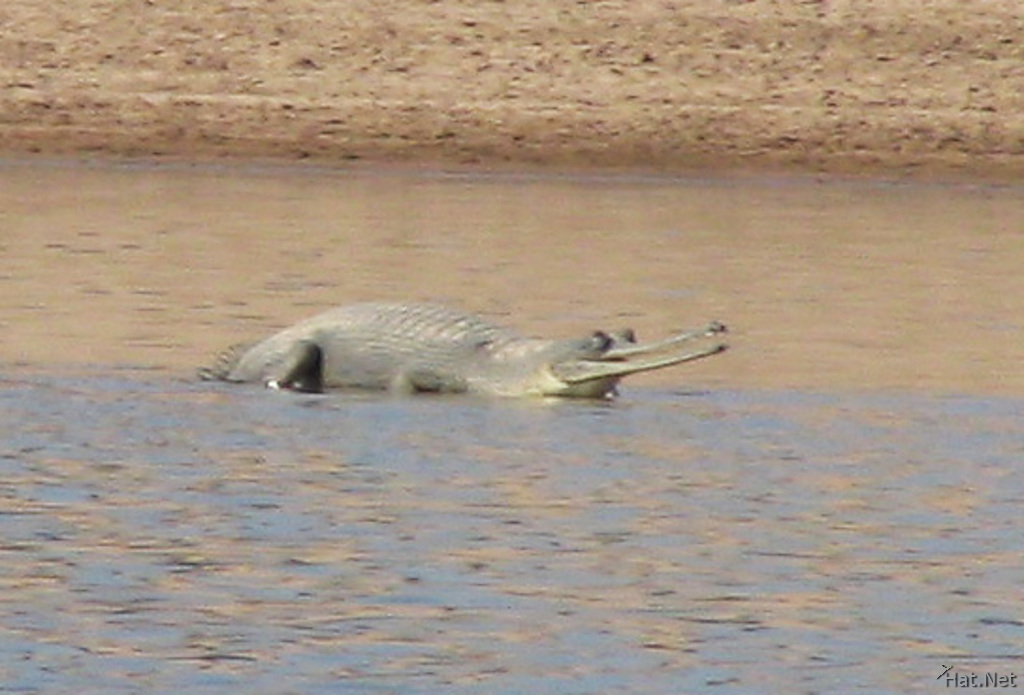 gharial floating on water