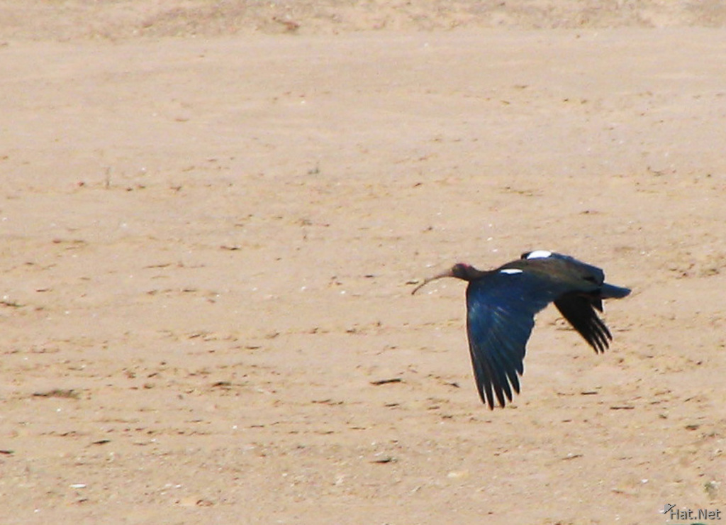flying black ibis