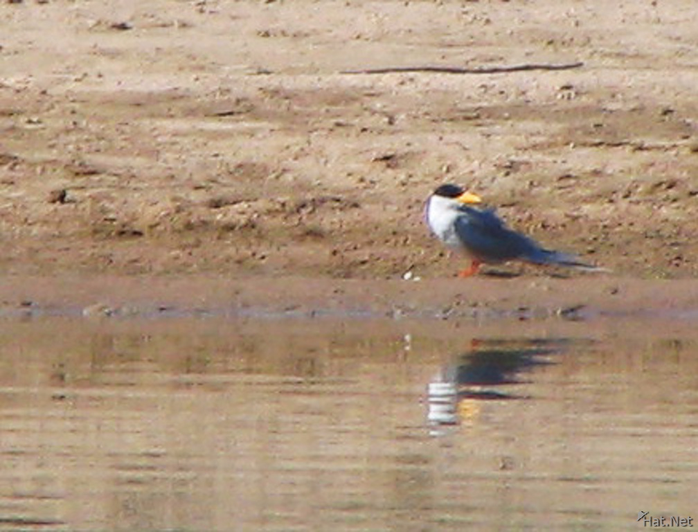 river tern looking at its own reflection