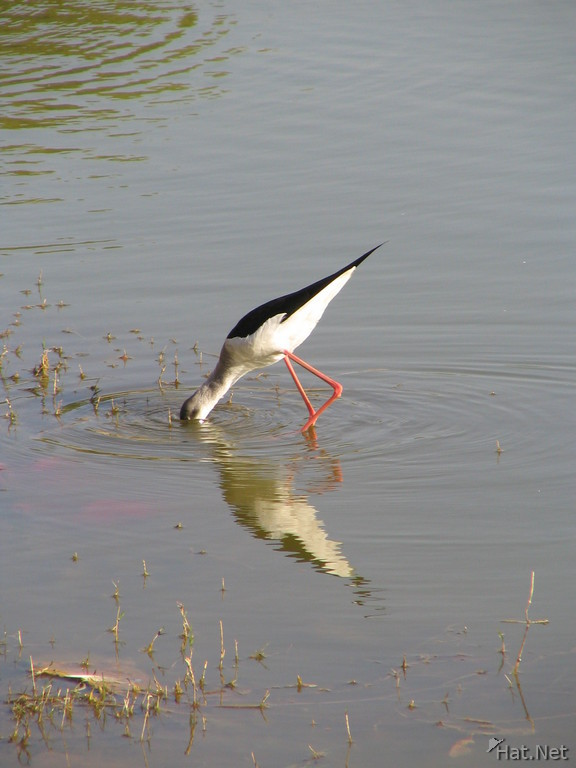 black wing stilt
