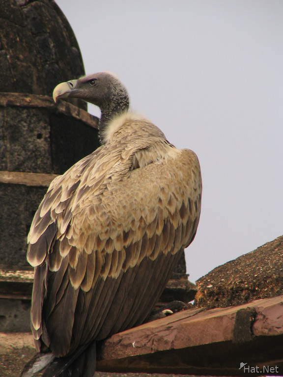 indian vulture at orcha jehangir mahal