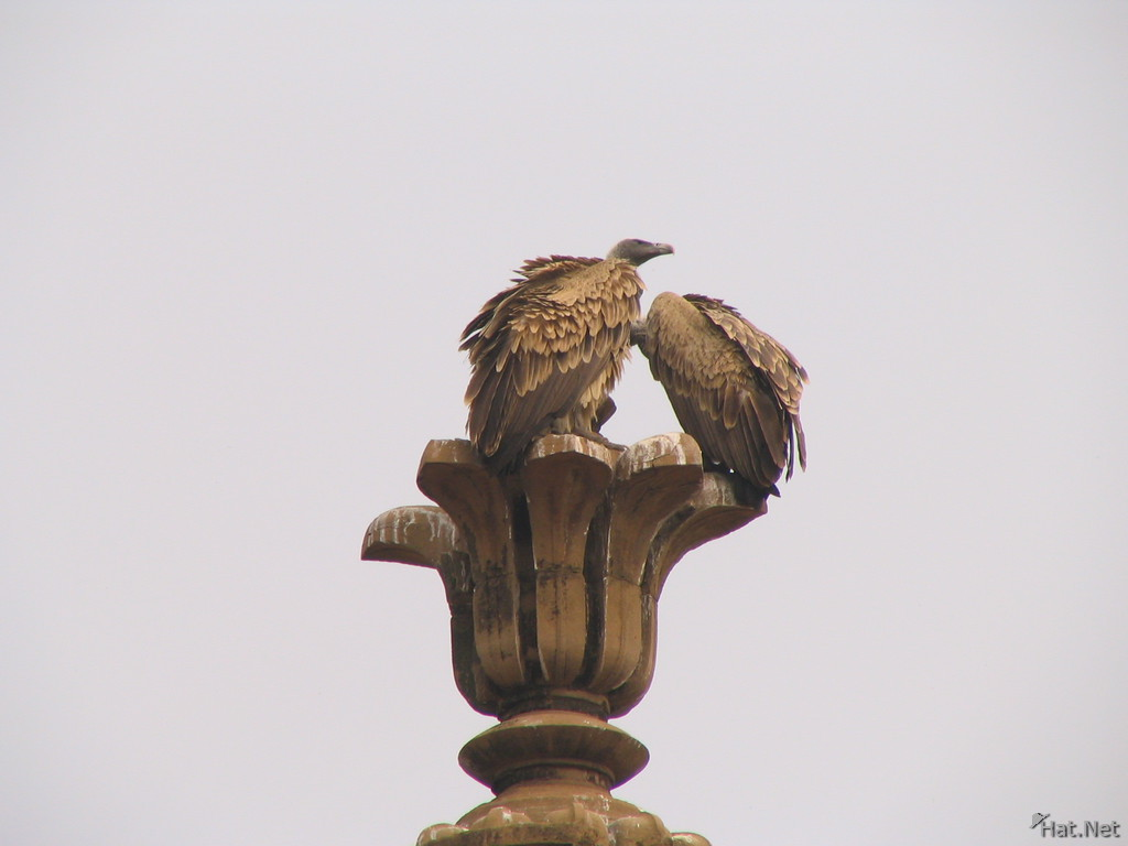 two indian vultures at orcha jehangir mahal