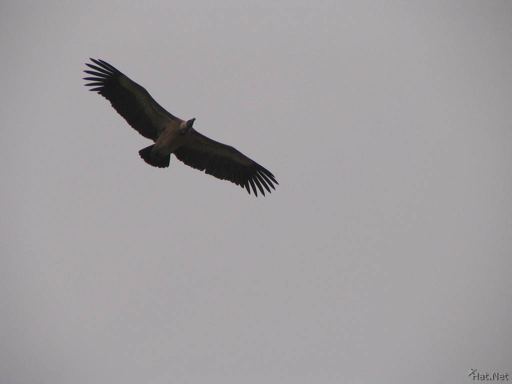 flying indian vulture at orcha jehangir mahal