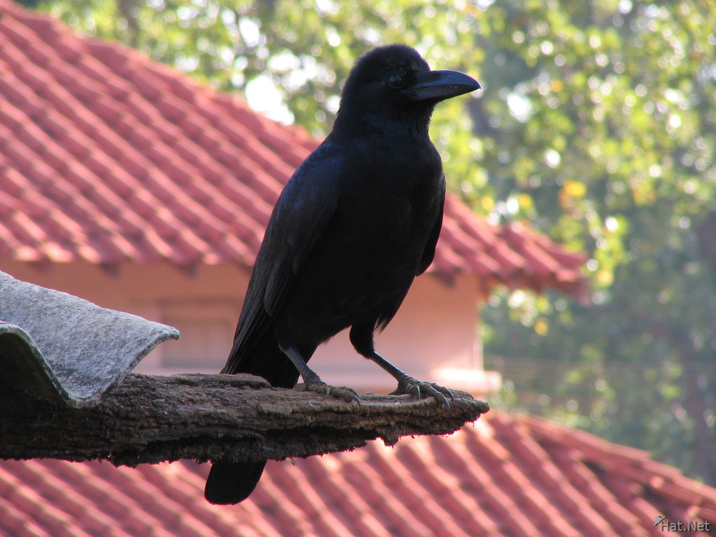 big bill crow at kanha national park