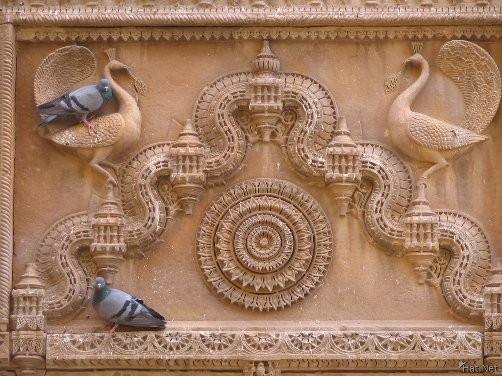 peacocks and pigeons in jaisalmer