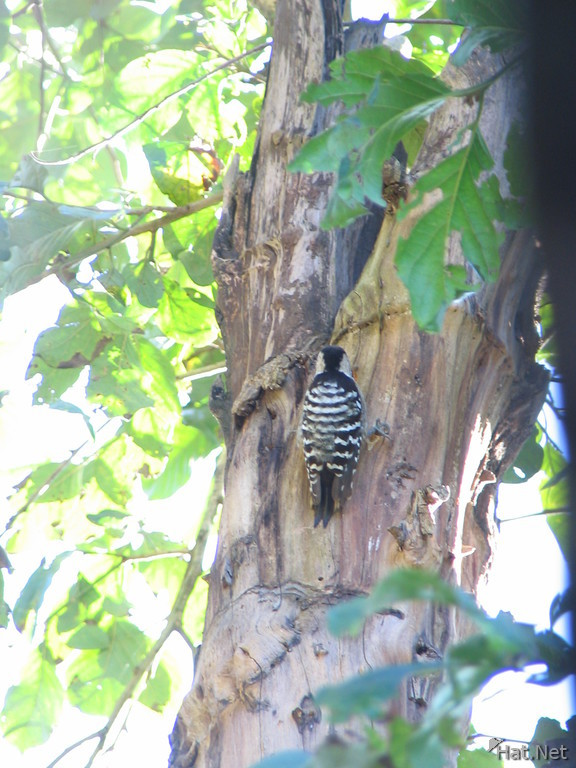 woodpecker at dhikala