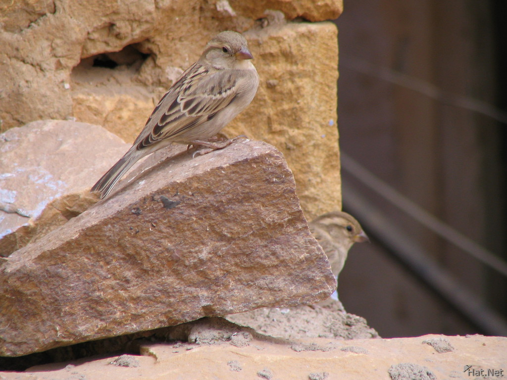 long tail sparrow at jaisalmer