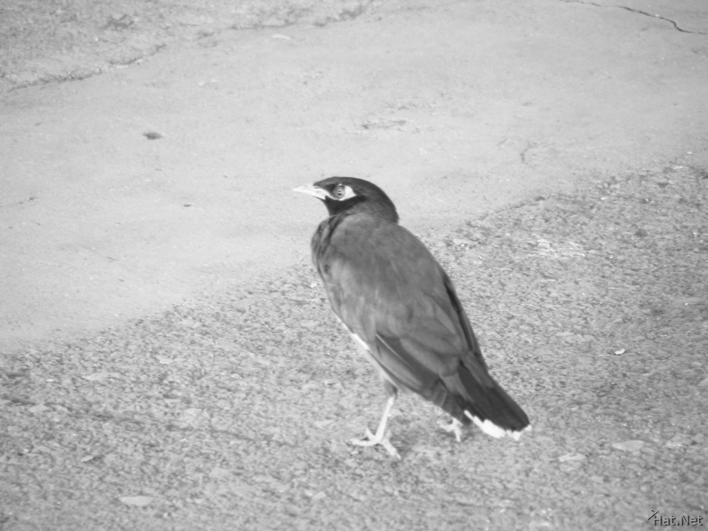 limbing common myna at chittor station