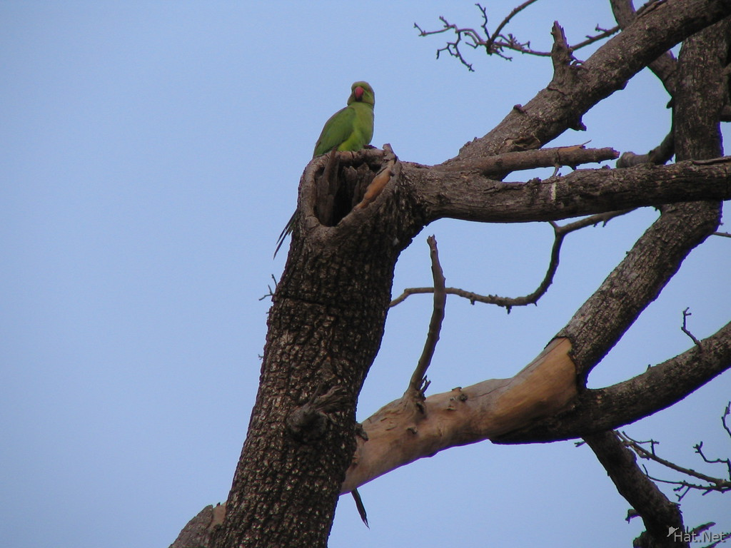 rose ring parakeet at ranthambhore fort
