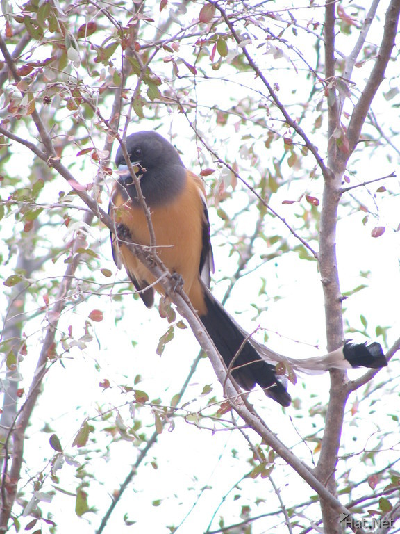 indian treepie at ranthambhore